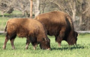 bison in the Lyndon B Johnson State park